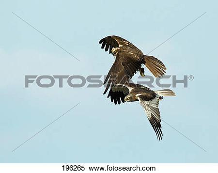 Stock Image of Western Marsh Harrier (Circus aeruginosus). Pair in.