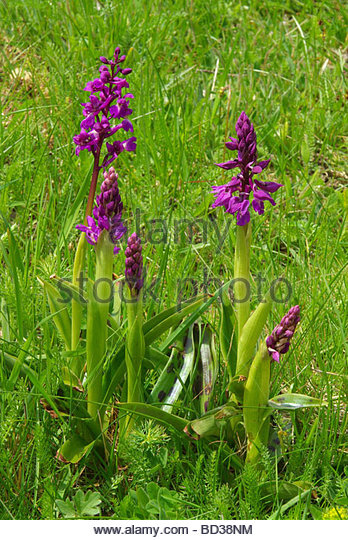 Western Marsh Orchid Stock Photos & Western Marsh Orchid Stock.