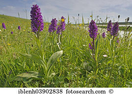 Dactylorhiza majalis Stock Photo Images. 51 dactylorhiza majalis.