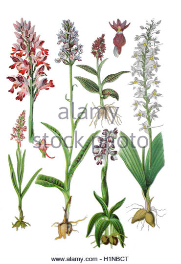 Orchis Cut Out Stock Images & Pictures.