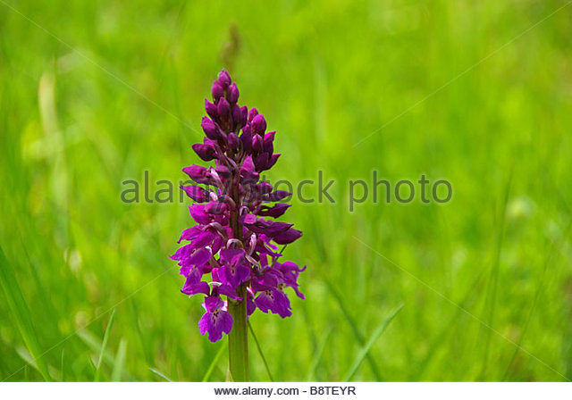 Leaved Marsh Orchid Stock Photos & Leaved Marsh Orchid Stock.