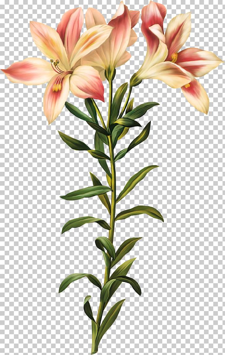 Lily of the Incas Printmaking Artist Botanical illustration.