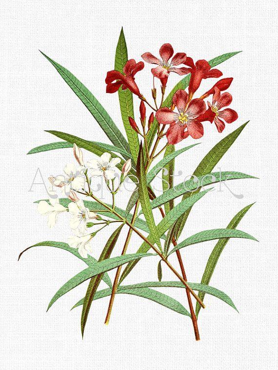 Oleander Old Image.