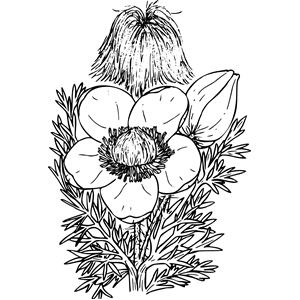 Western Pasque Flower clipart, cliparts of Western Pasque.