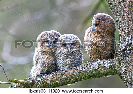 """Stock Photography of """"Three young Tawny Owls or Brown Owls (Strix."""
