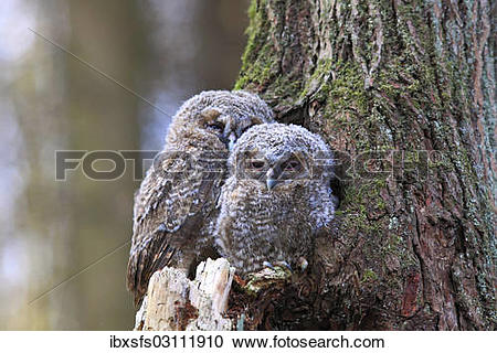 """Stock Photography of """"Young Tawny Owls or Brown Owls (Strix aluco."""