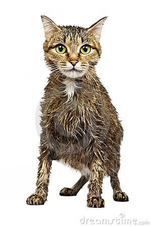 Download Free png Wet Cat Clipart.