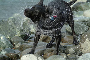 Picture of a Wet Dog Shaking Water Off After Swimming in the.