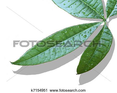 Clipart of Wet leaves k7154951.