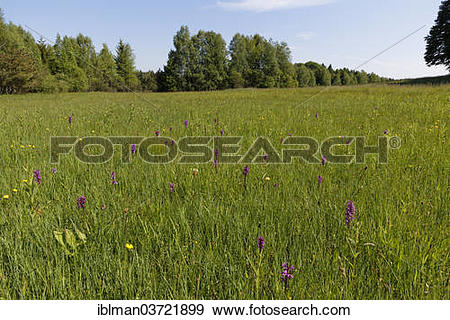 "Stock Photograph of ""Wet meadow with orchis near Weilheim."