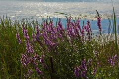 Purple Loosestrife Flower At A Wet Meadow Stock Photo.