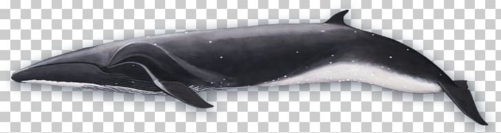 Sei Whale Side View PNG, Clipart, Animals, Sea Animals Free.