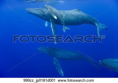 Stock Photography of Underwater view of Humpback Whale cow and.