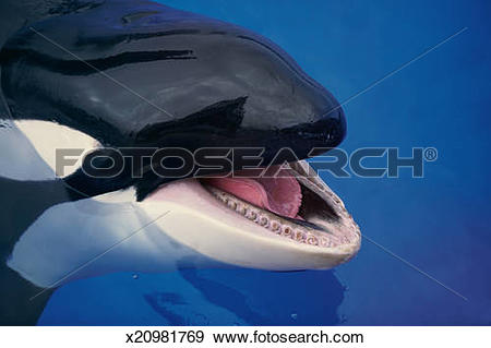 Stock Photograph of Killer whale (Orcinus orca) with open mouth.