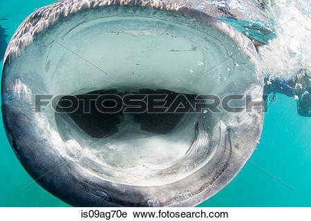 Stock Photography of Open mouth of whale shark is09ag70e.