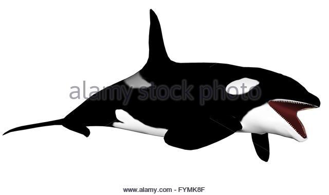 Orca Whale Teeth Animal Stock Photos & Orca Whale Teeth Animal.