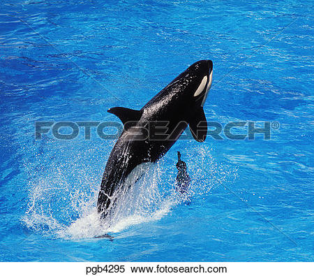 Stock Image of Killer whale (orsinusorca) jumping over his trainer.