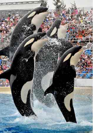 Clipart of sea world whales.
