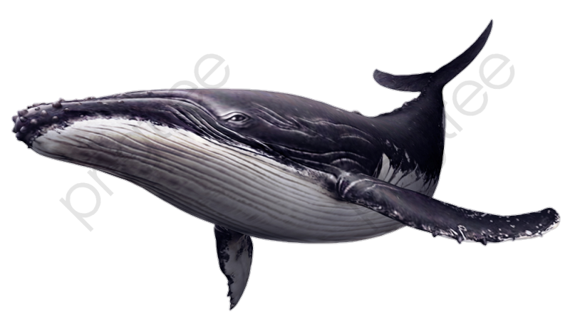 Sit Hip Whale, Whale Clipart, Whale, Great Whales PNG Transparent.