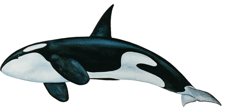 Whale PNG Images Transparent Free Download.