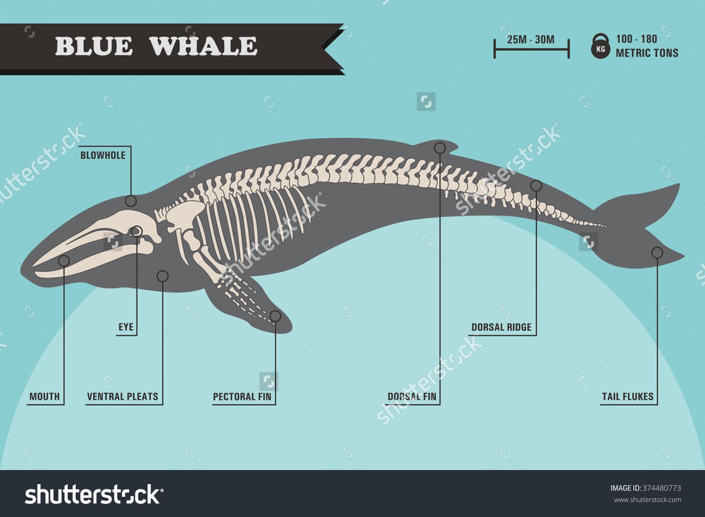 Blue Whale Skeleton Stock Vector 374480773.