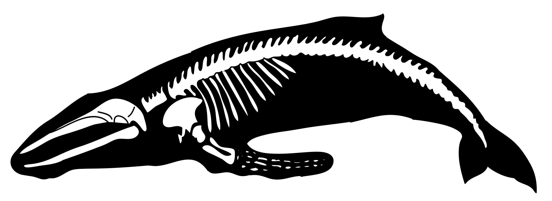 Visit the unique reconstruction of a humpback whale skeleton from.