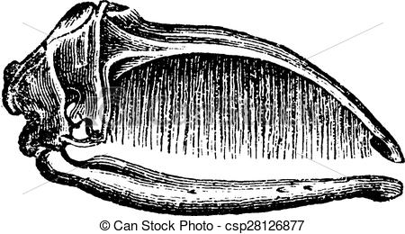 Vector Clipart of Sperm whale skull, vintage engraving..