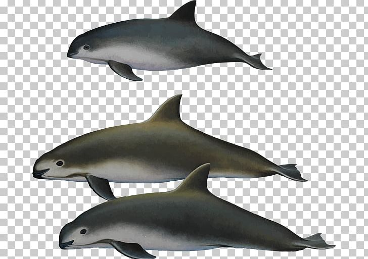 Harbour Porpoise Toothed Whale Vaquita Endangered Species.