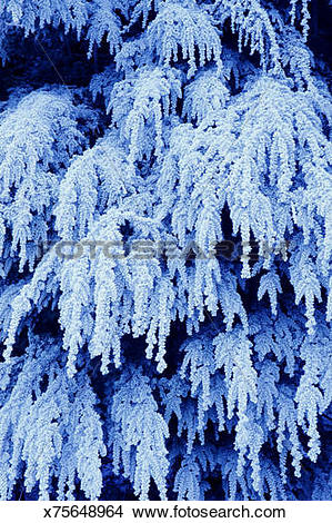 Stock Photo of FROST ON HEMLOCK TREE IN WHATCOM COUNTY, WASHINGTON.