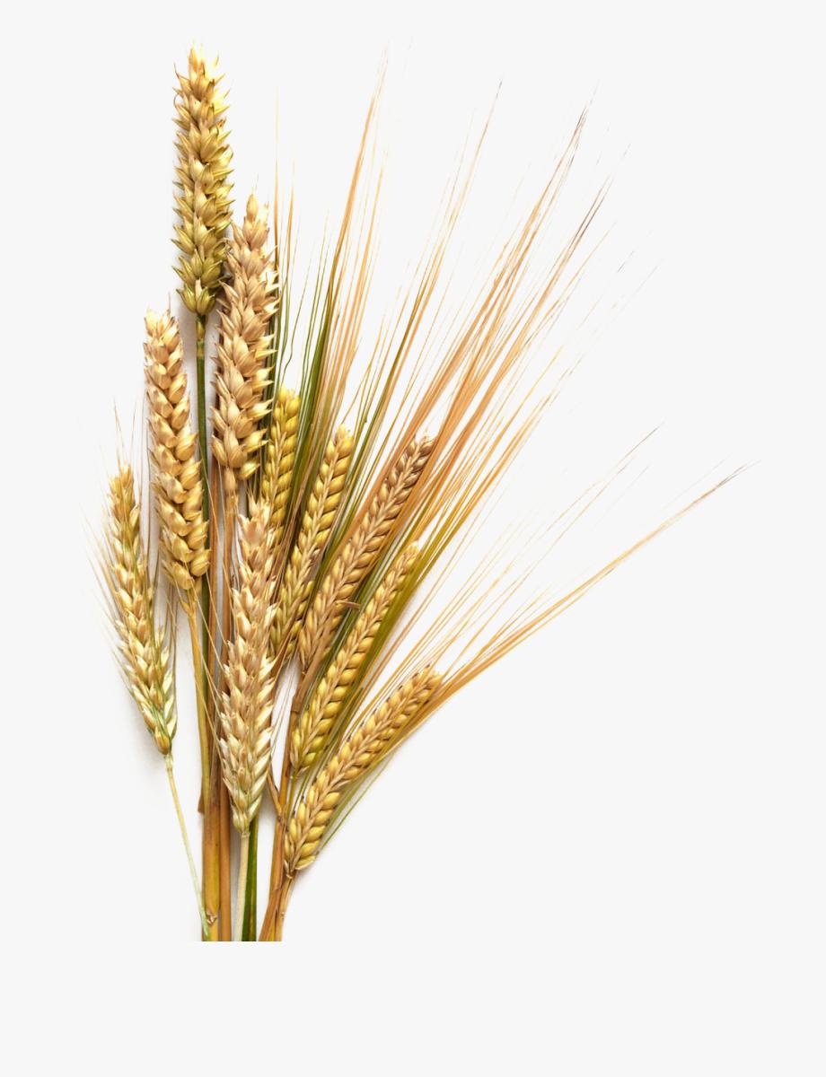 Grains Clipart Wheat Germ.