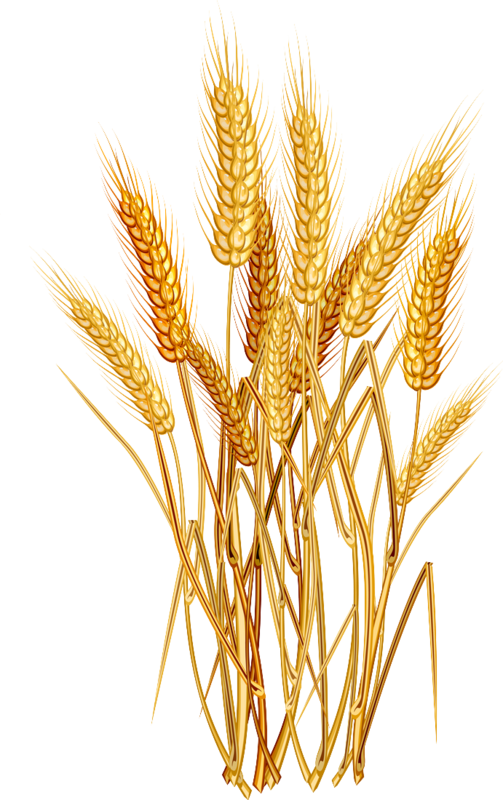 Hops clipart wheat, Hops wheat Transparent FREE for download.