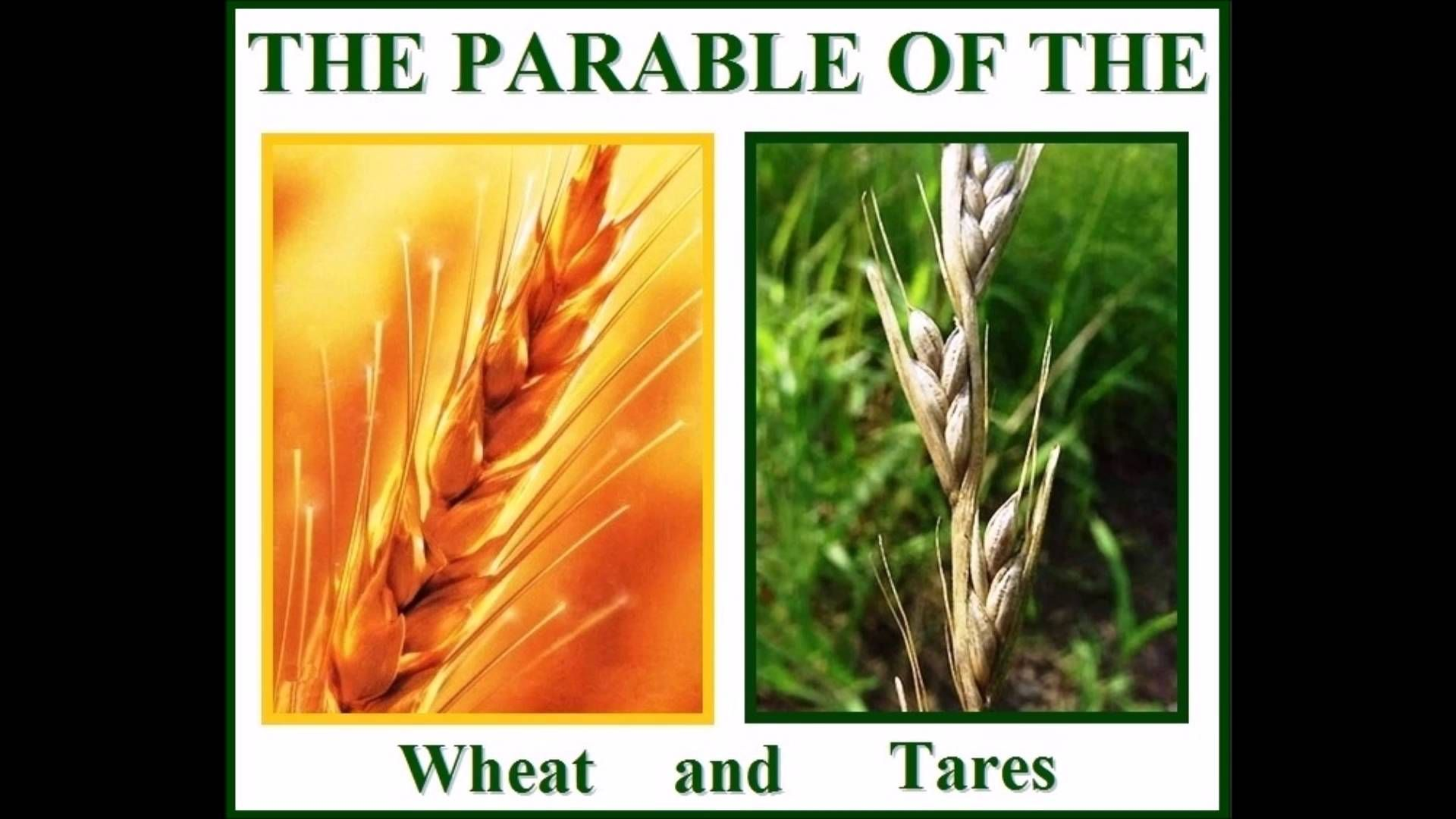 Grains clipart wheat tares, Grains wheat tares Transparent.