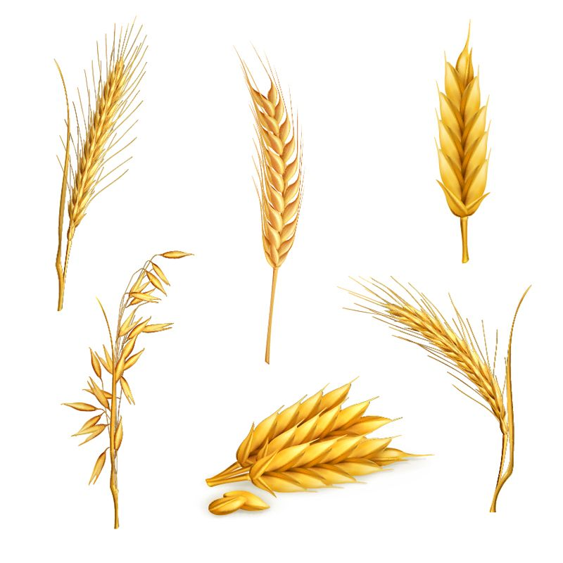 Wheat Stalk Free Clipart.