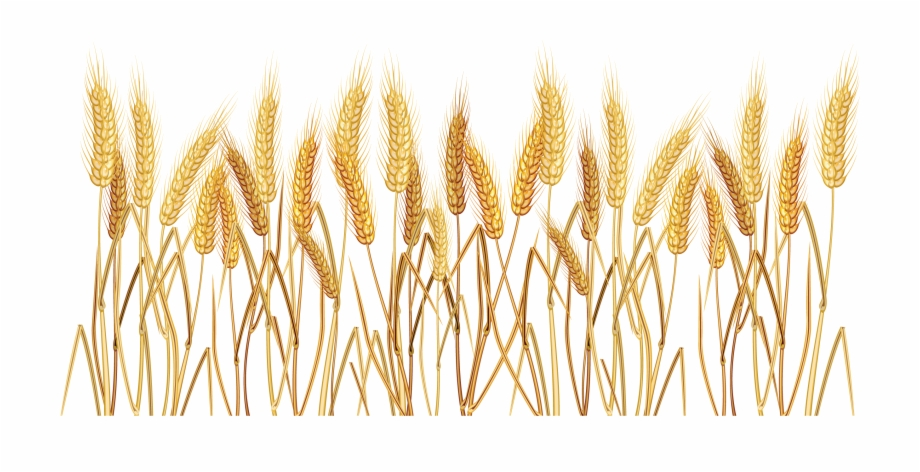 Wheat Grass Png Transparent Background Wheat Clipart.