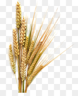 Wheat PNG.