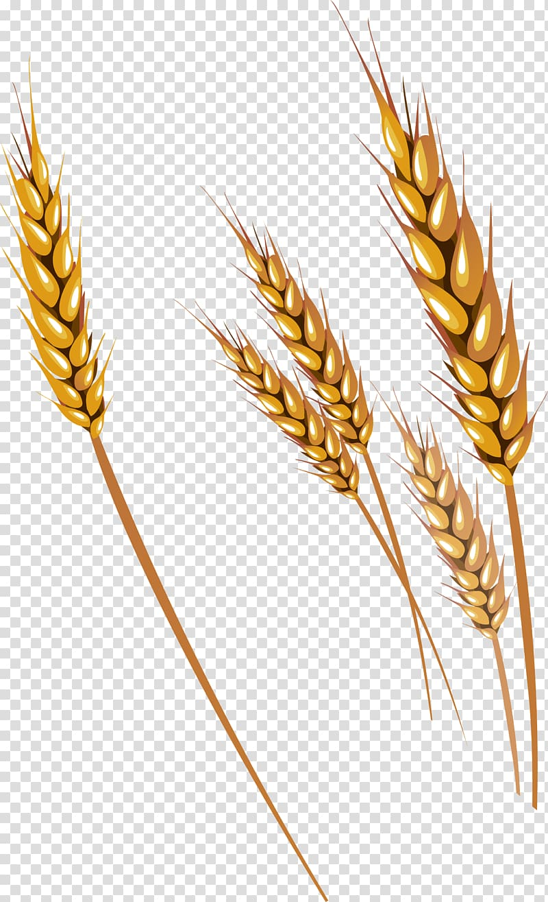 Brown wheat grains illustration, Wheat Fruit , Wheat.