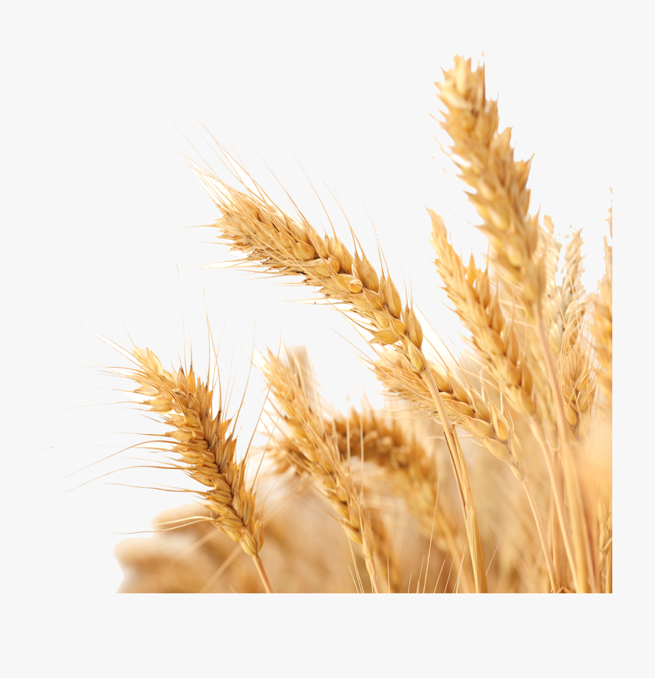 Harvest Wheat Crop Free Png Hq.