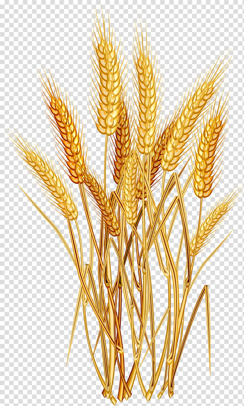 Wheat Euclidean , Golden wheat, brown wheat illustration.