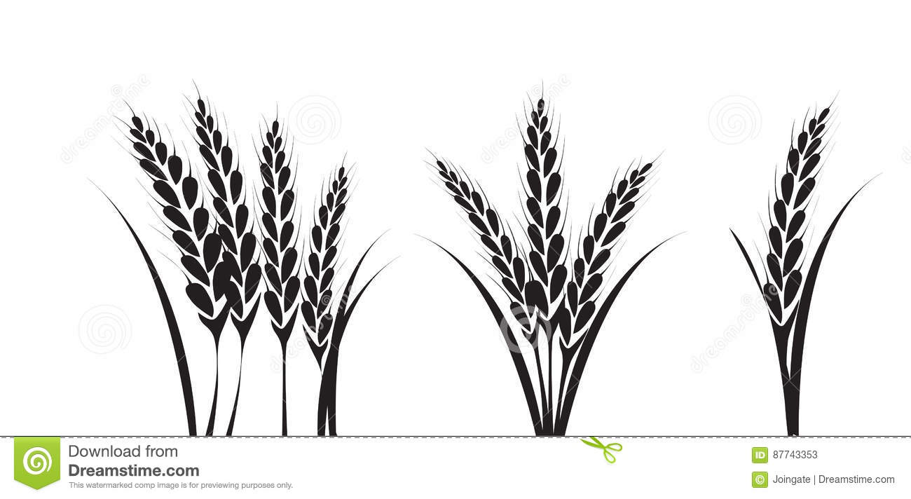 Corn Or Wheat Silhouette Drawings Stock Vector.