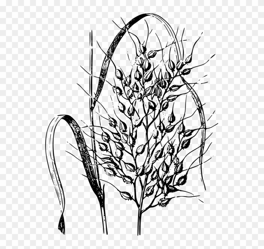 Wild Rice Cereal Drawing Common Wheat.