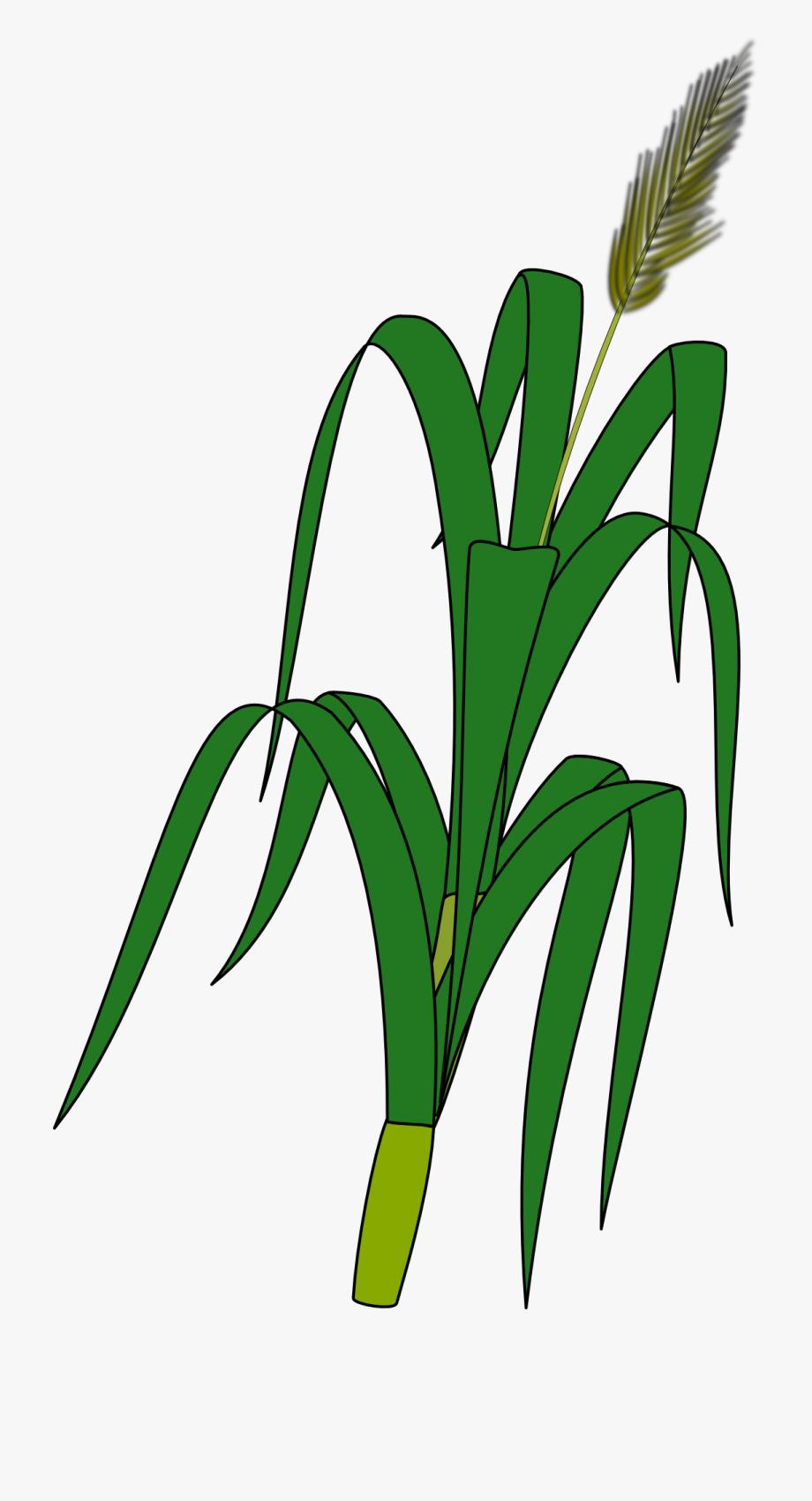 Wheat Plant To Draw.