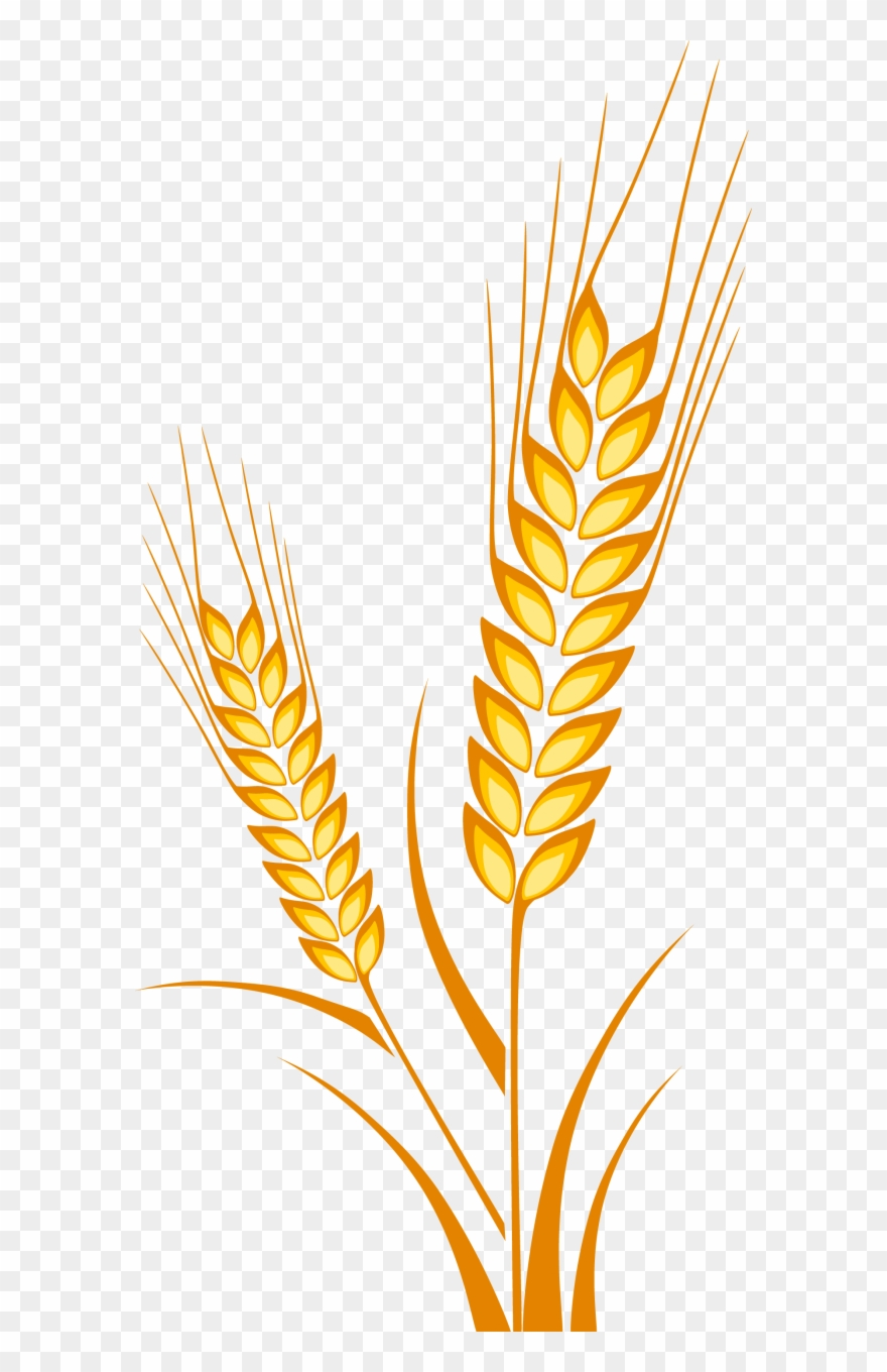 Picture Freeuse Download Cereal Drawing Plant.