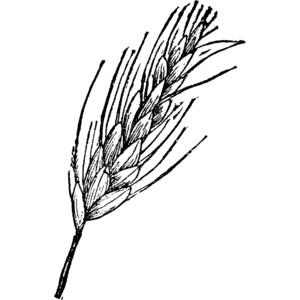 Ear of wheat clipart.