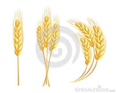 Wheat Spike Stock Illustrations.