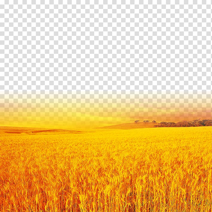Yellow wheat field transparent background PNG clipart.