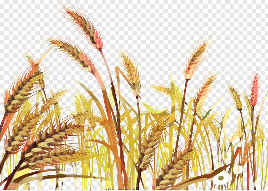 Drawing Of Family, Wheat, Ear, Wheat Field, Cereal, Barley.