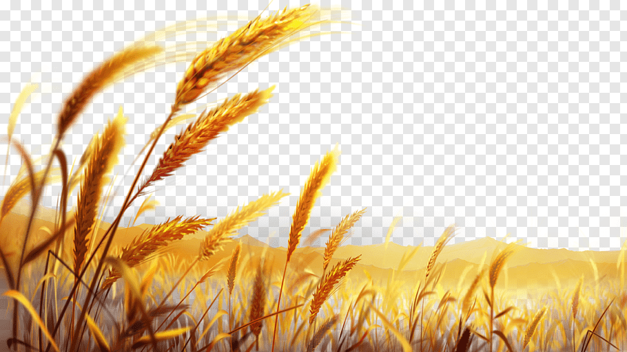 Brown wheat grains art illustration, Wheat Dough, Beautiful.