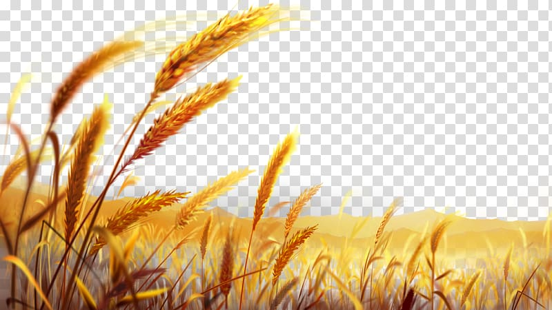 Brown wheat grains art illustration, Wheat Dough , Beautiful.