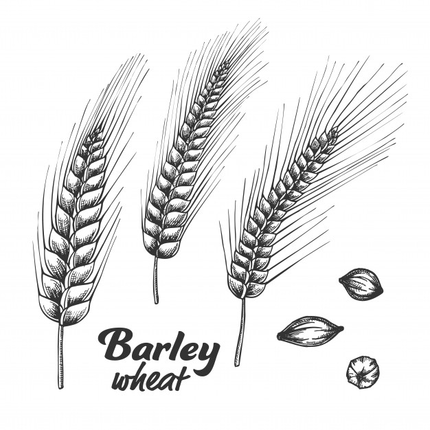 Designed barley wheat spike and seed set. Vector.