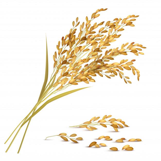 Rice grain illustration Vector.